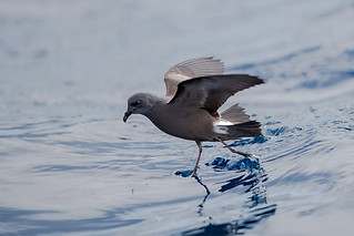 Leach's-Storm-Petrel_close2_w_7454