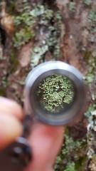Lichen through a hand lens