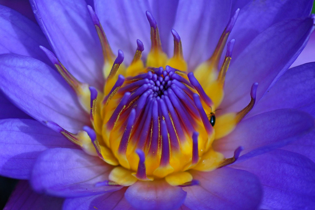 Cape Blue Waterlily blossom (Nymphaea Capensis)