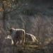 Cattle on the hillside