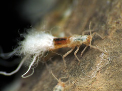 Beech Blight Aphid