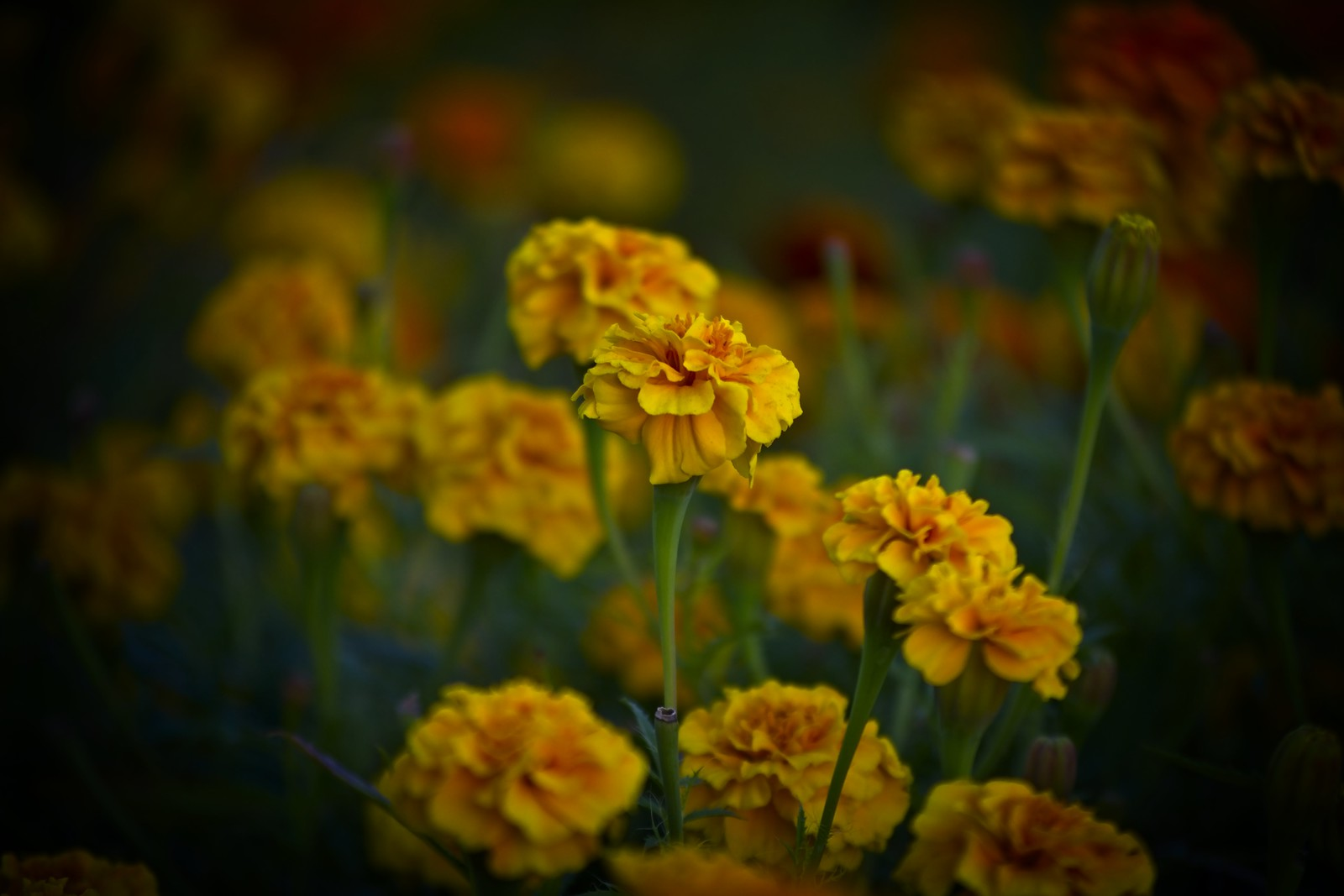Beautiful Marigold