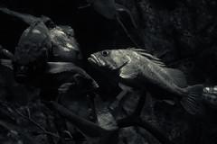 Light Shadow Fish