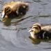 November ducklings, Priory Park, Great Malvern