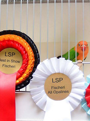 Lovebird Society of Pakistan 2017 - fischeri - Fahad Butt