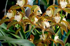 Cymbidium tracyanum 'Citron Sunray' species orchid