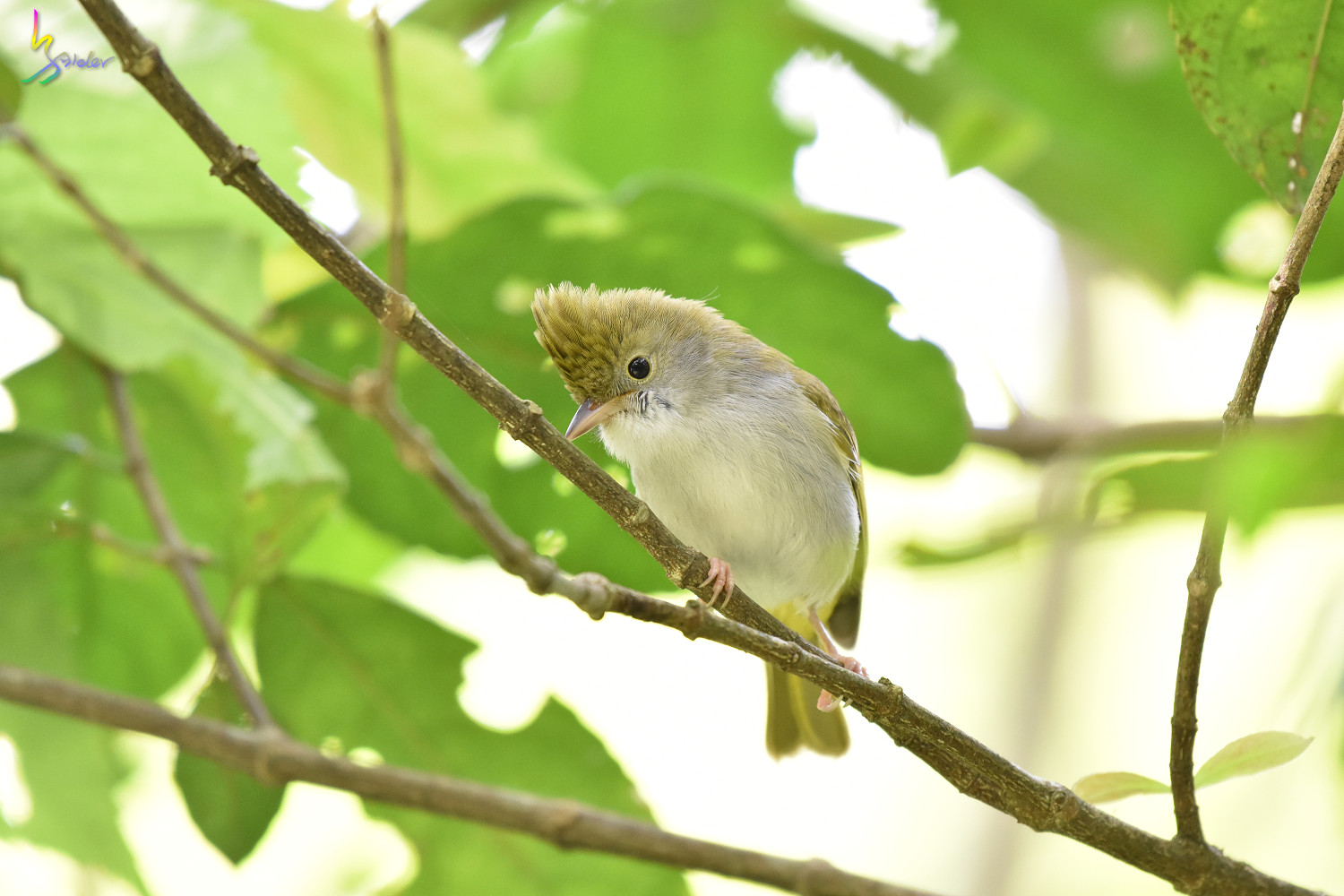 White-bellied_Yuhina_0324