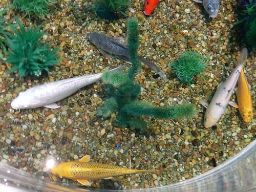 Goldfish (4) #toronto #ripleysaquarium #aquarium #tank #goldfish #koi #latergram