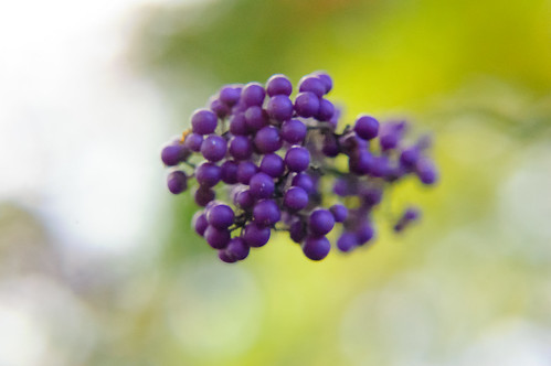 Purple cluster: beautyberries