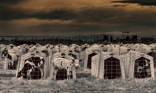 ian sane images tightquarters calves cattle veal farm pens woodburn oregon marion county canon eos 5ds r camera ef100400mm f4556l is usm lens