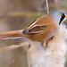 Bearded Tit 1 by markwright12002