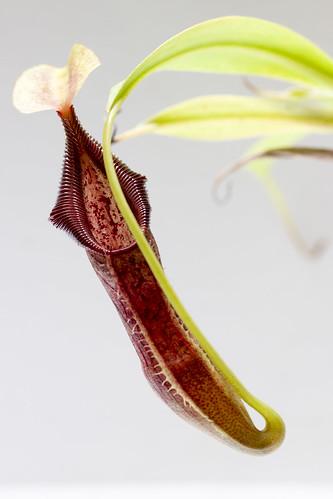 Nepenthes singalana Belirang #1