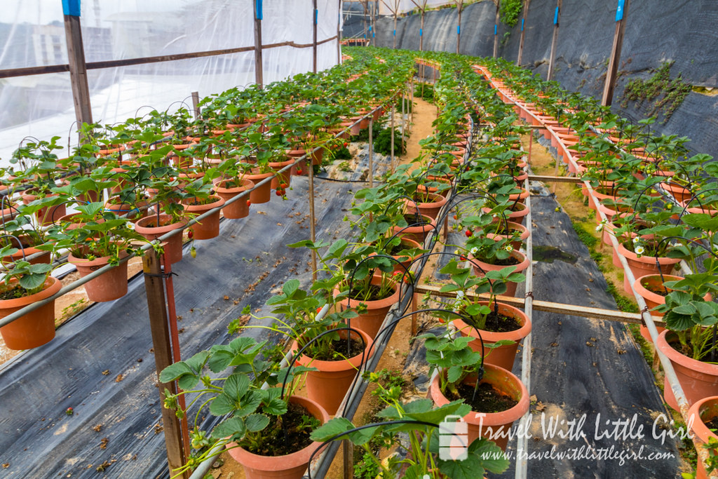 Lines of Strawberries waiting for you to hand pick at Cameron Highlands