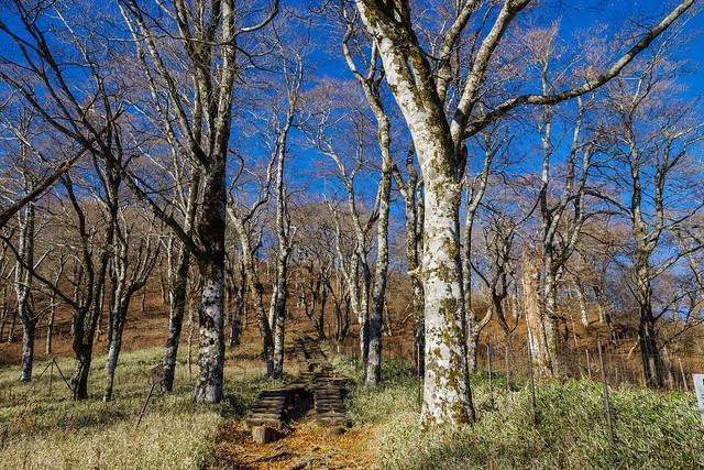 丹沢山直下・ブナ林の木道を登る