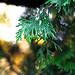 Pine Tree Tips