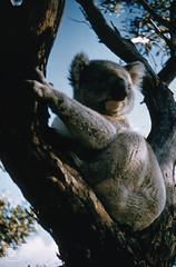 Wild kuala bear, Phillip Island, Victoria. May 1958