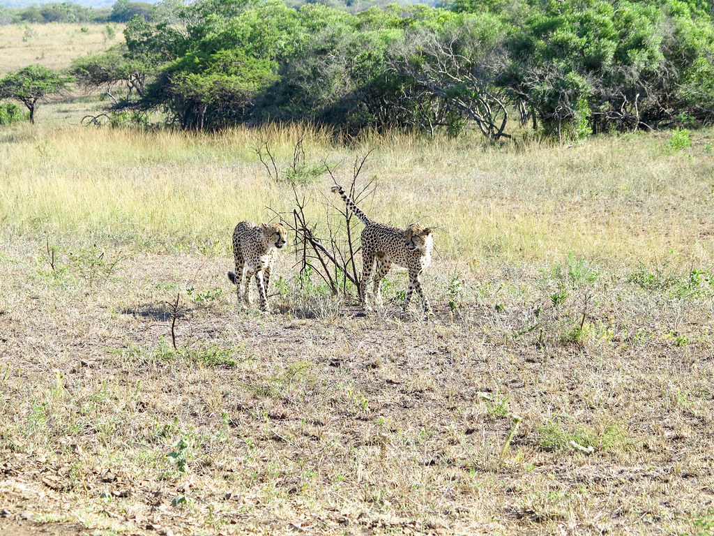 Guepardos en un safari fotográfico