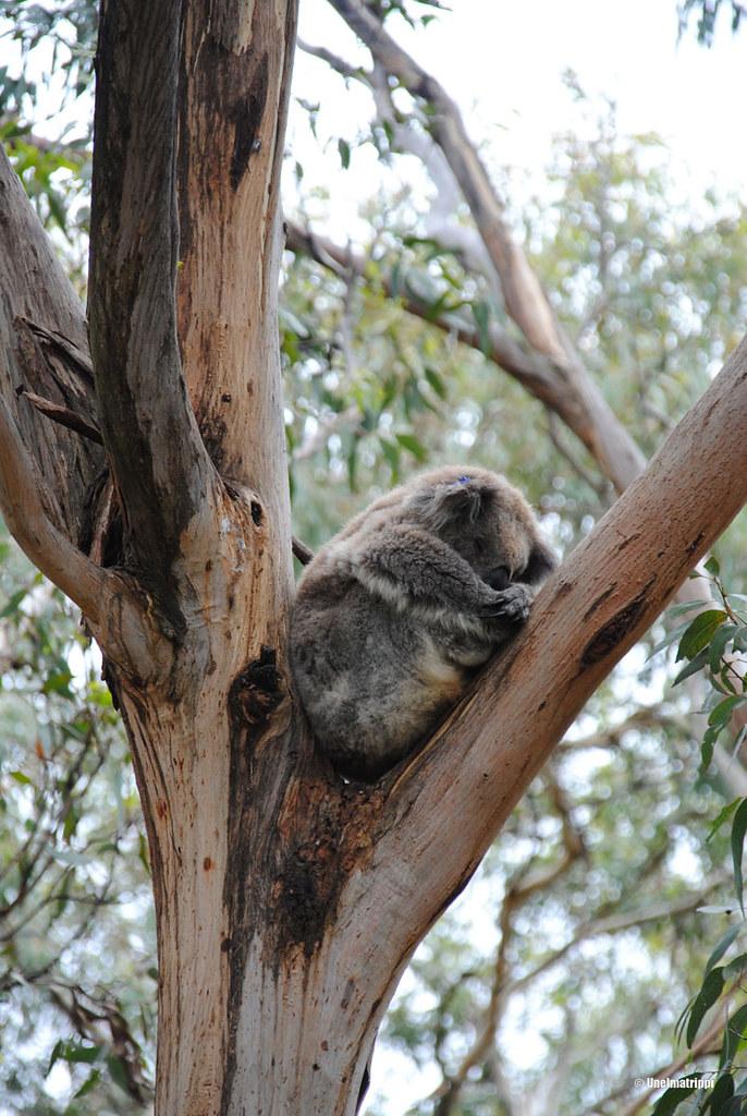 Koala Phillip Islandin Koala Conservation Centressä Australiassa