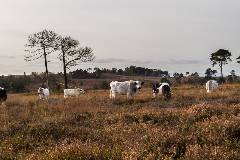 Cows on Canford Heath
