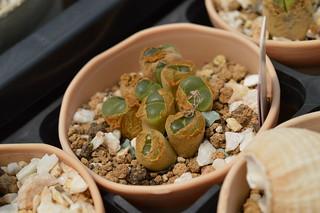 DSC_6130 Conophytum(=Ophthalmophyllum) lydiae f.harmoepense