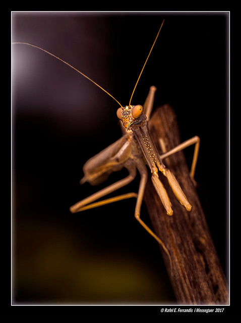 Pregadéu 15 (Mantis religiosa) Praying Mantis (Moixent, la Costera, València, Spain)