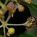 common wasp, Vespula vulgaris