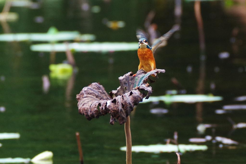 翠鳥的季節