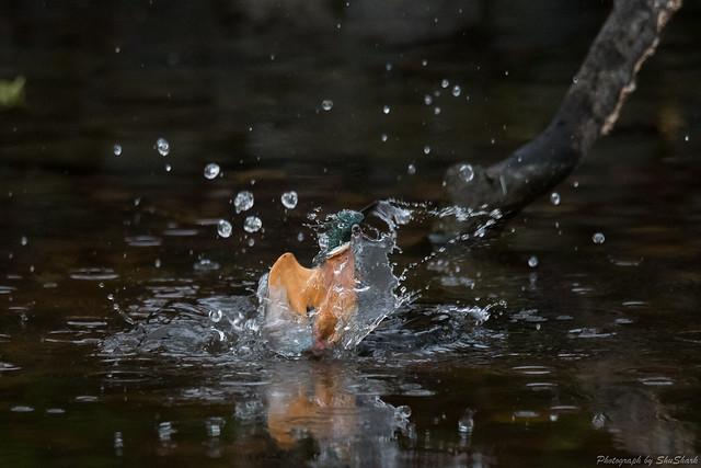 20171111-kingfisher-DSC_6801
