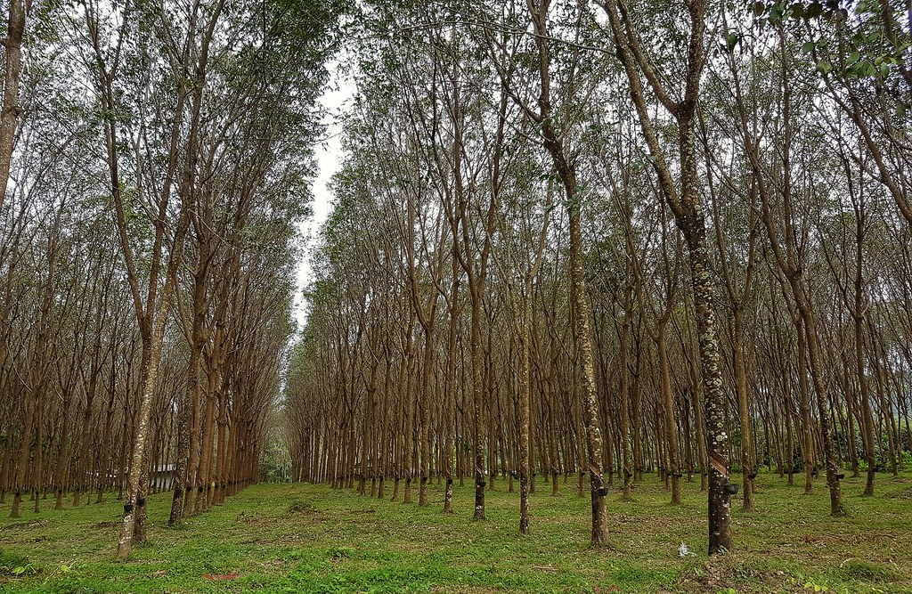 Rubber Tree Plantation, Ko Yao Noi