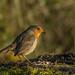 Robin by donnasmith13