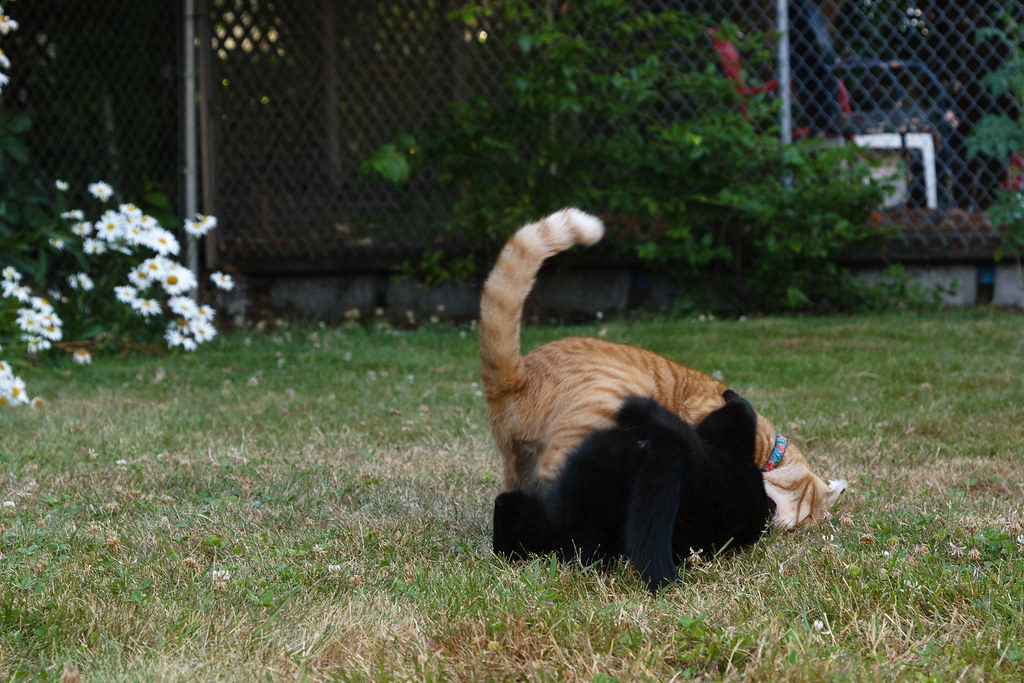 Our cats Sam and Emma playing outside, Sam has gained the upper hand