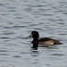 Scaup or Tufted Duck?