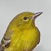 winter Pine warbler