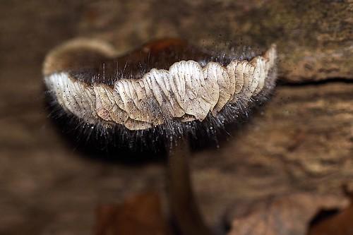 Bonnet Mold - Knopschimmel