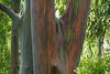 006 Rainbow Eucalyptus
