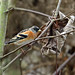 Brambling ( male winter ) --- Fringilla montifringilla