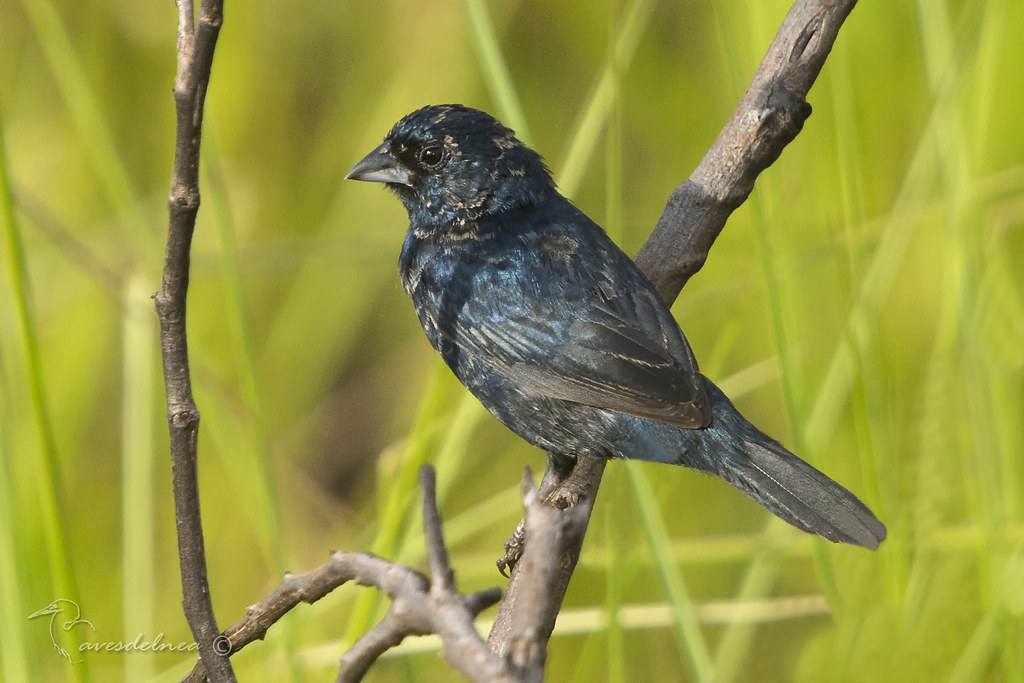 Volatinero (Blue-black Grassquit) Volatinia jacarina