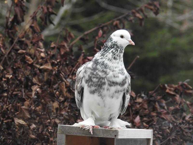 """Pigeon """"disco"""" 25068029568_b37de037c7_c"""