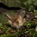 Brown Long-eared Bat, Plecotus auritus by Midlands Reptiles & British Wildlife Diaries