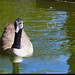 IMG_4329_Canadian Goose