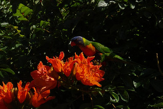 Lorikeet on African tuliptree
