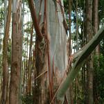 Eucalpytus saligna bark