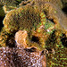 Corals of Sydney - Plesiastrea versipora #marineexplorer