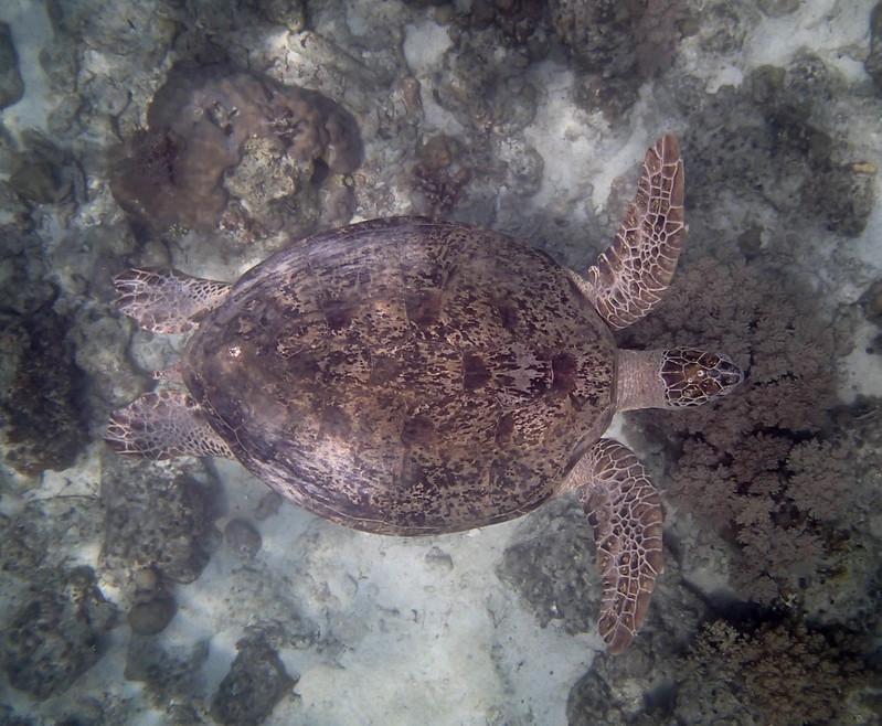 2017-11-11 07.39.30_Sea Turtle_Морская черепаха