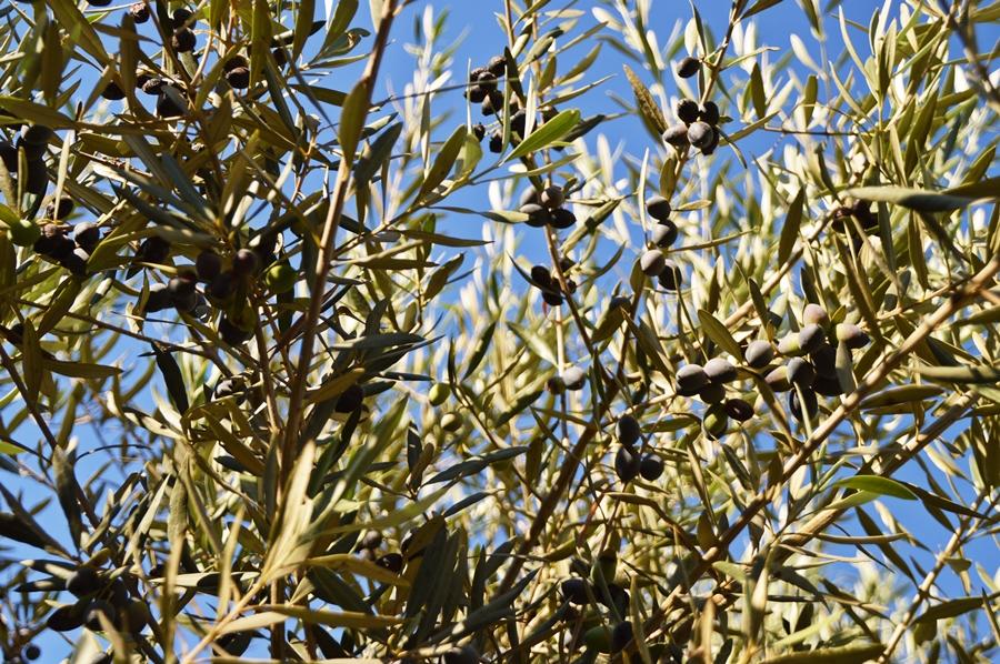 oliivi2