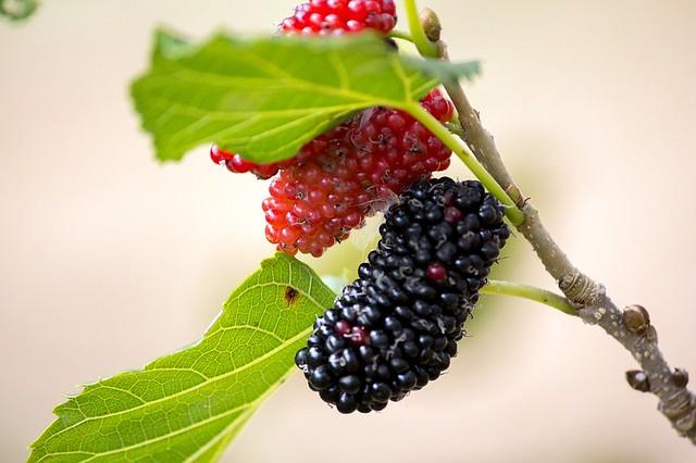Rica em cálcio, a amora reduz os sintomas da menopausa  - Créditos: Pixabay