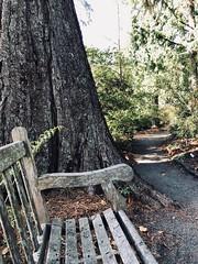 Giant Sequoia Bench