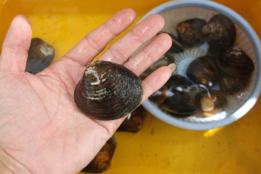 口湖馬蹄蛤 (9)