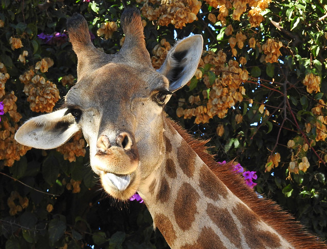 Girafa-de-Angola / Angolan giraffe (Giraffa camelopardalis angolensis)