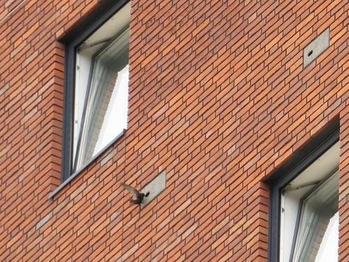 Invliegende Gierzwaluw met nestmateriaal bij Nimbus